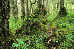 old growth, Chichigof Island, southeast Alaska