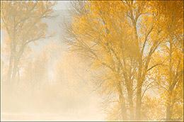 autumn cottonwood trees, Gunnison River, Neversink