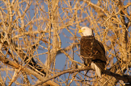 bald eagle, Rocky Mountain Arsenal NWR
