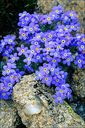 alpine forget-me-not wildflowers, Indian Peaks Wilderness, wildflowers