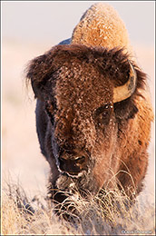 bison bull, Rocky Mountain Arsenal NWR