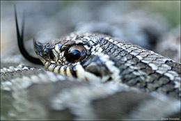 western hognose snake, rattlesnake