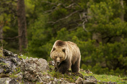 grizzly bear, sagebrush