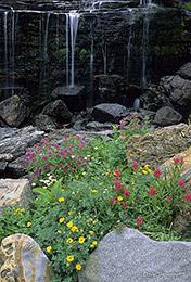 wildflowers, lunch creek, Glacier National Park