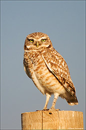 Male Burrowing Owl Portrait