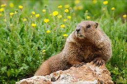 marmot, Colorado