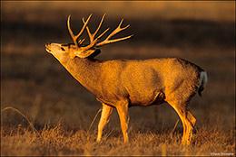 Mule Deer Buck in Rut