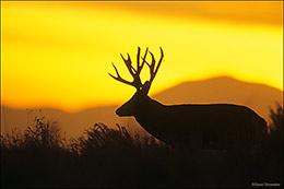 mule deer, Rocky Mountain Arsenal NWR