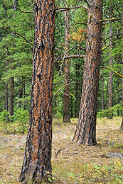 ponderosa pine, rattlesnake recreation area, Missoula