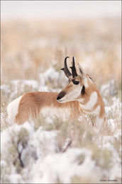 pronghorn, antelope flats, grand teton national park