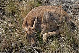 Soda Lake Wildlife Management Area, audubon rockies bioblitz, pronghorn fawn