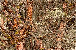 Quenal Trees Closeup