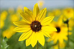 shortgrass prairie, prairie sunflower