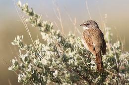 Sagebrush Sparrow in Sage
