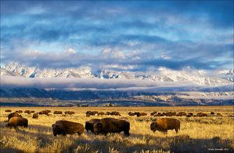 Bison and Teton Range