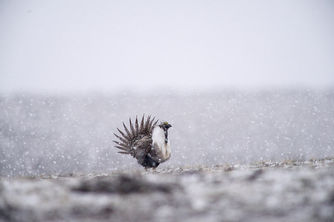 Greater Sage-grouse Spring Snow