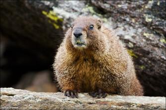 Marmot Curiosity