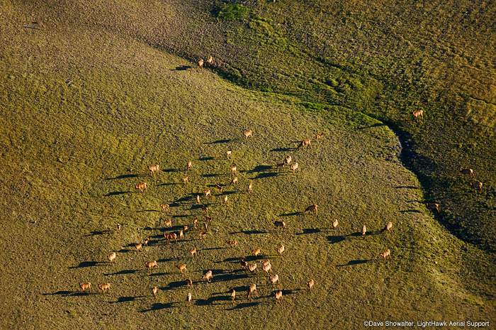 Elk graze on lush tundra vegetation on Carter Mountain in this aerial view. Cervus elaphus  LightHawk Aerial Support.