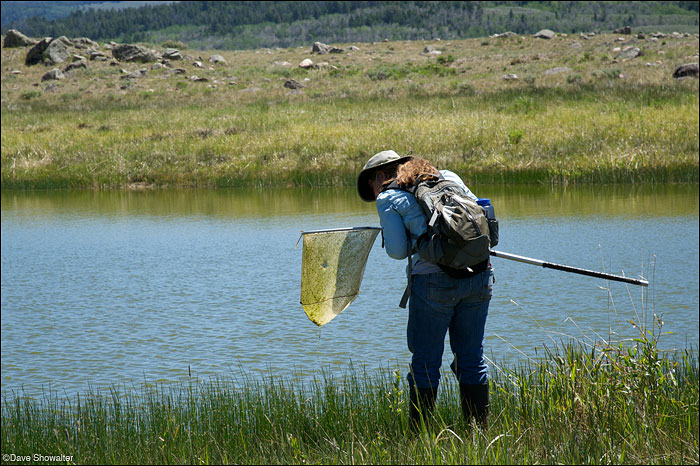 Wndy Estes-Zumpf of the Wyoming Natural Diversity Database (WYNDD) checks her net while searching for amphibians in the...