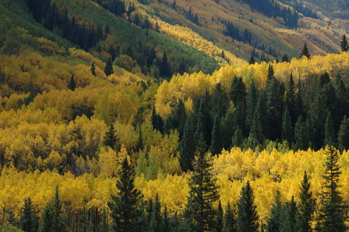 aspen, Maroon Bells-Snowmass Wilderness Area, Colorado, photo