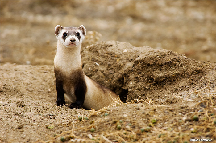 National black-footed ferret Conservation Center, Fort Collins, endangered, photo