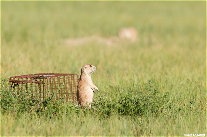 The acclimation process for relocation includes allowing enough time for the trap to become part of the prairie landscape...