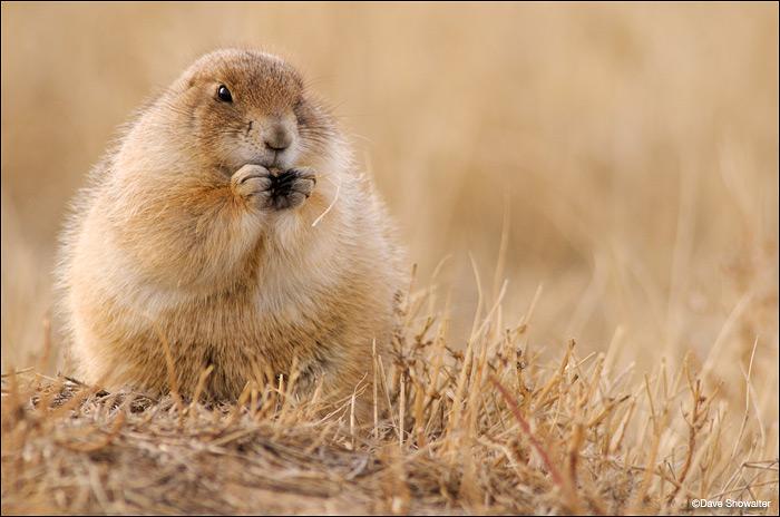black-tailed prairie dog, burrow, photo
