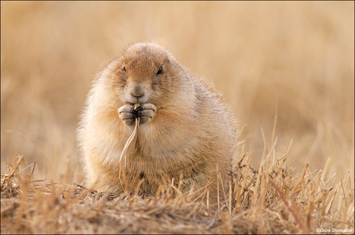 black-tailed prairie dog, burrow, photo