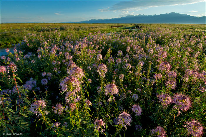 sangre de cristo range, rocky mountain bee plant, photo