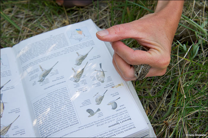 Confirming the identity of a Brewer's sparrow at the Audubon Rockies Bioblitz event. June 23, 2012. Soda Lake Wildlife...