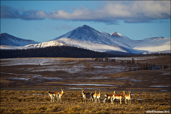 Pronghorn were nearly wiped out in Gunnison Basin during the severe winter of 2007-2008. With some help from reintroduction...