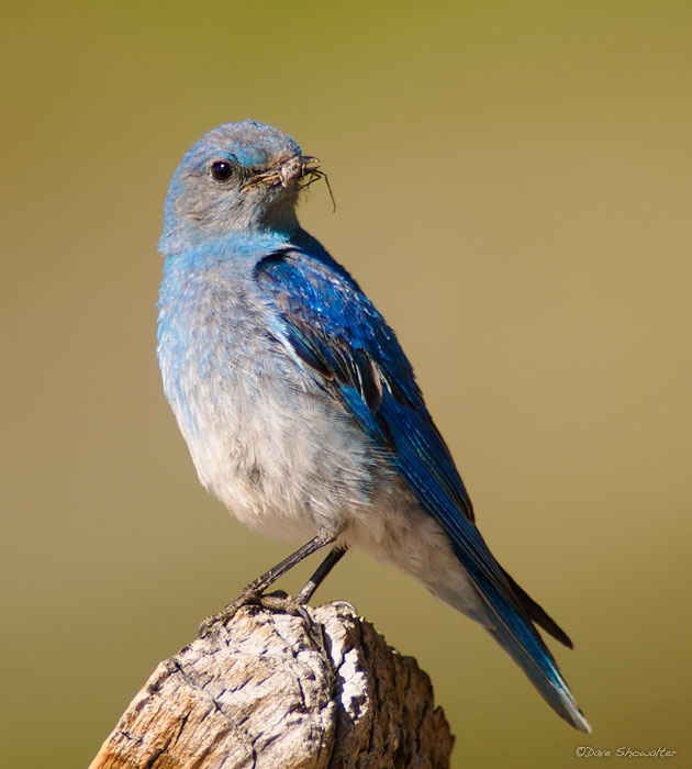 A male mountain bluebird perches on a bristlecone pine snag while holding an insect. Early July is nest-building season and a...