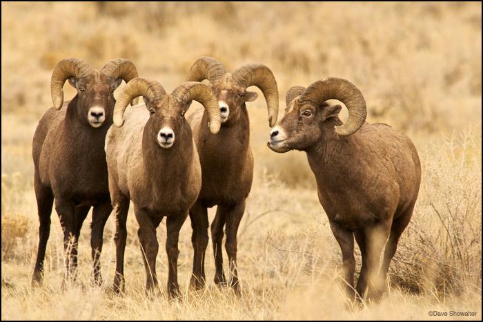 bighorn rams, rut, photo