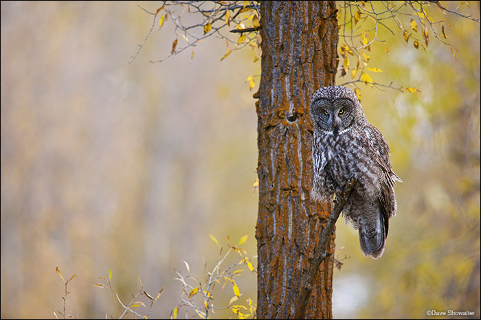 great gray owl, ghost of the forest, photo
