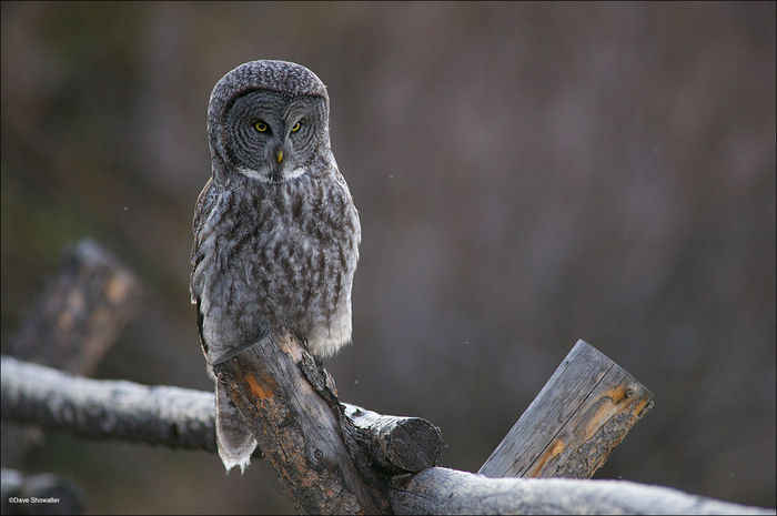 great gray owl, jackson hole