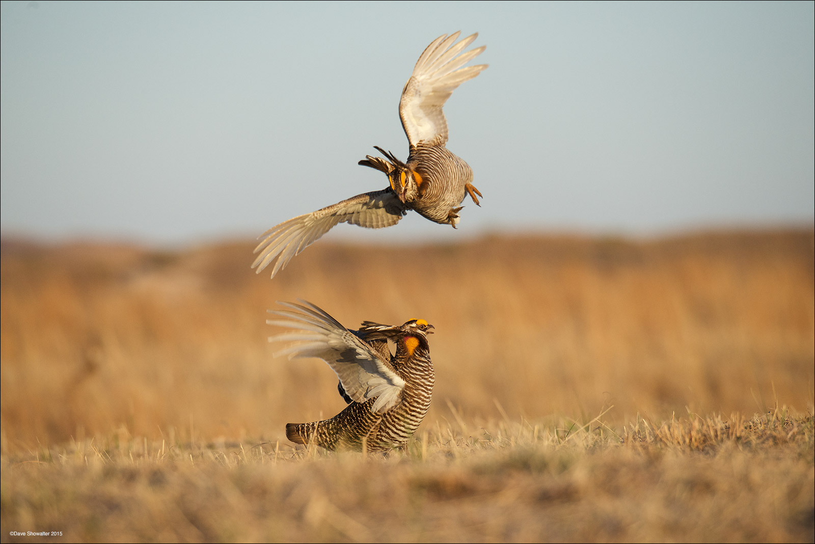 Greater prairie-chicken males fight on a lek in the Nebraska Sandhills. While photographing from a camouflaged blind, I marveled...