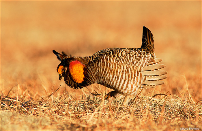 greater prairie chicken, yuma county colorado, wray, photo