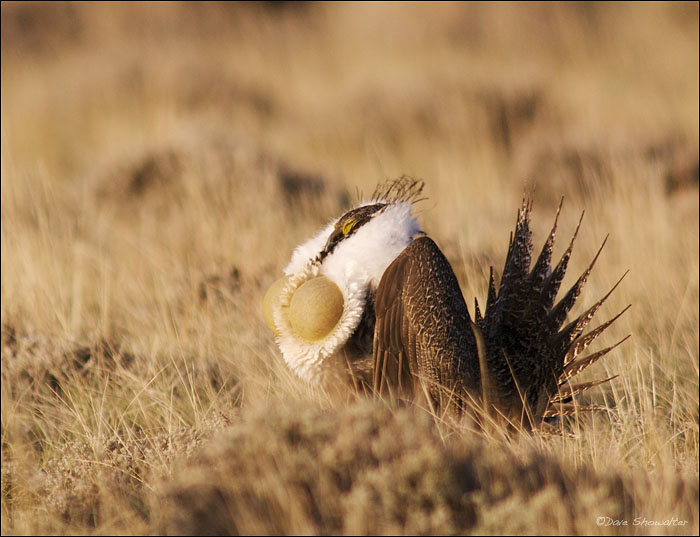 greater sage grouse, Jackson County, oil and gas, lek