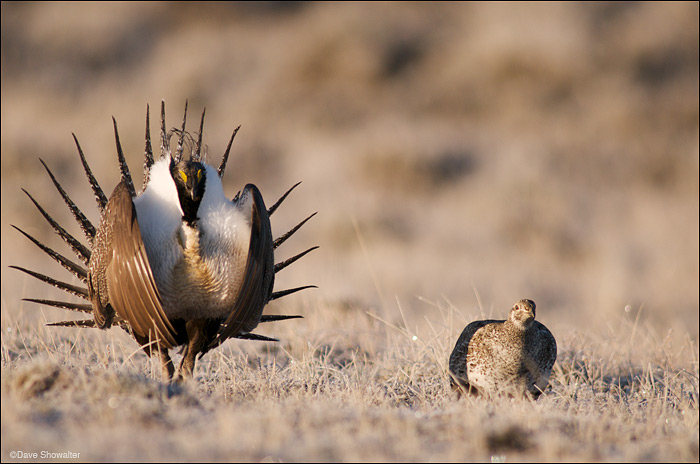 A male Greater sage grouse displays for a female during lekking, or mating season. Sage grouse carry on the elaborate mating...