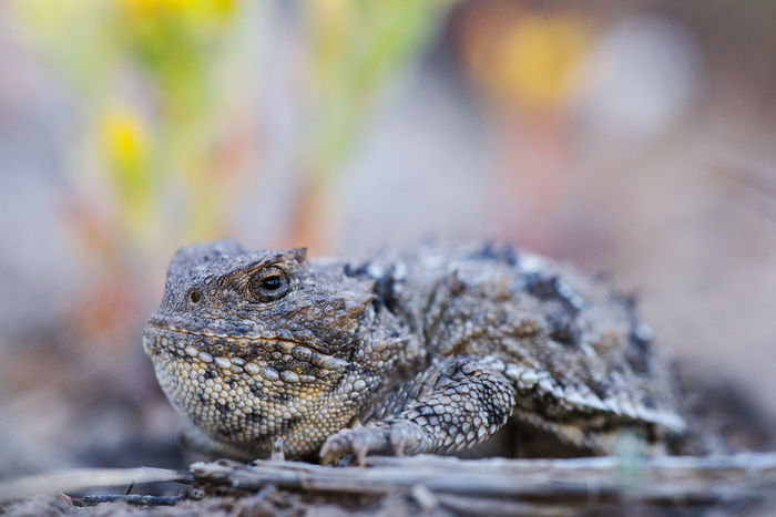 greater short-horned lizard, shirley basin