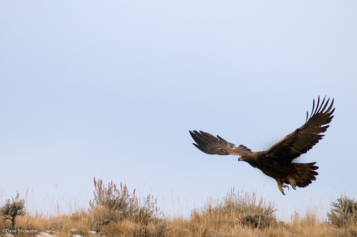 A golden eagle takes flight near Meeteetse, Wyoming. Golden eagles are quite common across the sagebrush ecosystem east...