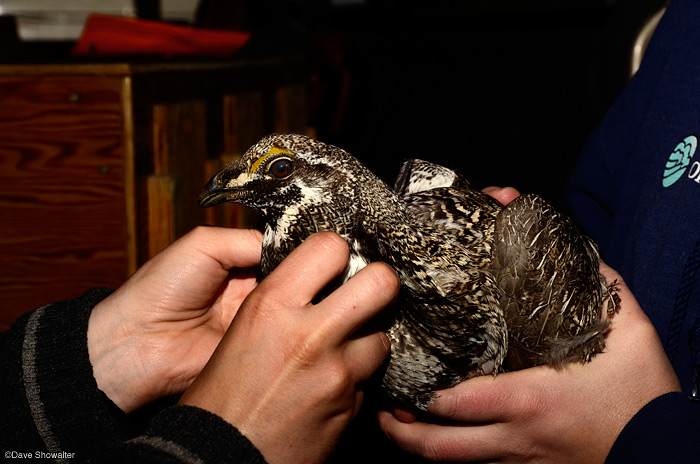 Technicians Jessica Divens and Brooke Palmer of the Colorado Division of Wildlife fit a male Gunnison Sage-grouse with...