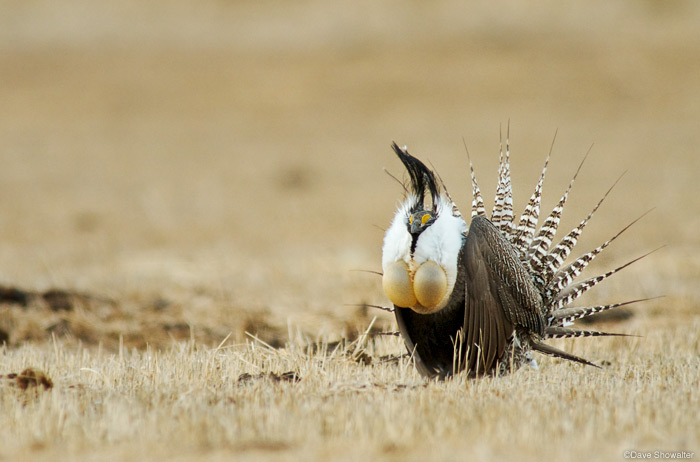 A male Gunnison Sage-grouse displays for a nearby female on private land near Gunnison, Colorado. Many of the imperiled...