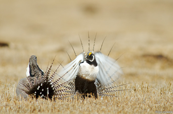 Male Gunnison Sage-grouse fight on a lek during mating season. I was photographing from a blind on a private ranch as a...