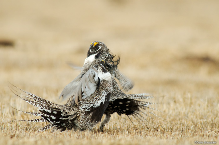 gunnison sage grouse, private land, photo
