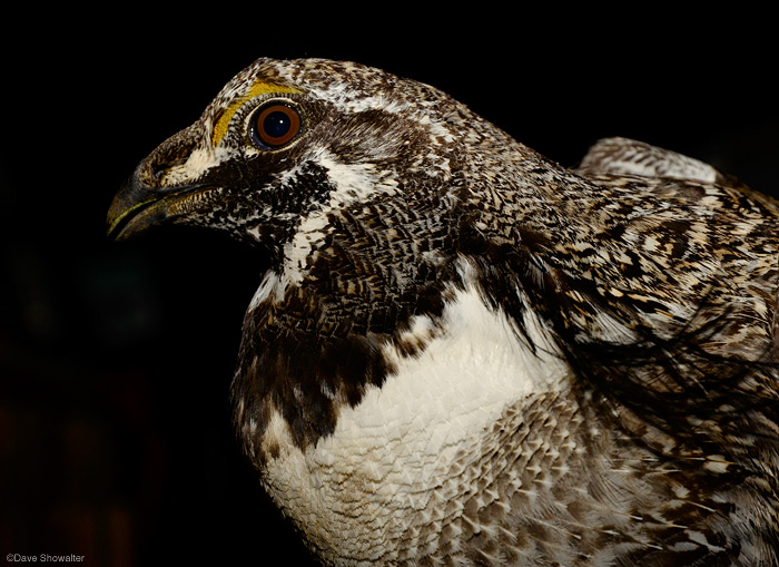A beautiful male Gunnison Sage-grouse night portrait - the grouse was trapped by the Colorado Division of Wildlife for...