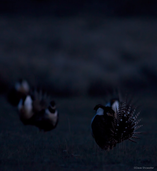Male Gunnison sage-grouse display in pre-dawn darkness on a satellite lek in San Miguel County. This particular lek has...