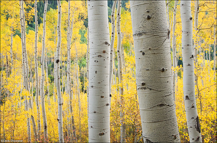 aspen forest, autumn gold, Independence Pass, photo