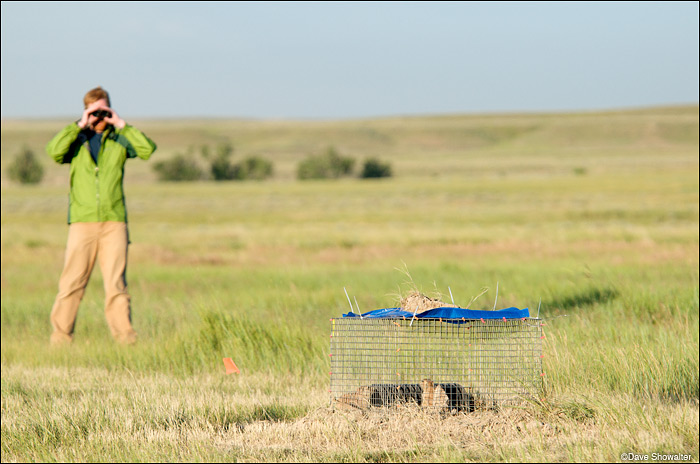 Jonathan Proctor of Defenders of Wildlife observes black-tailed prairie dogs in their acclimation cage on the release site. The...