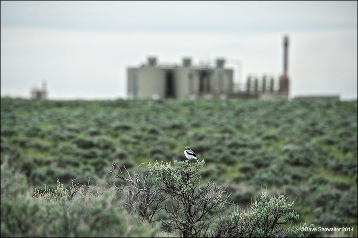 loggerhead shrike, jonah field, photo